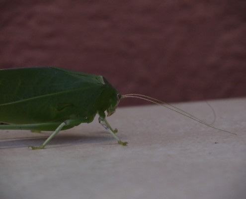 leaf-like insect