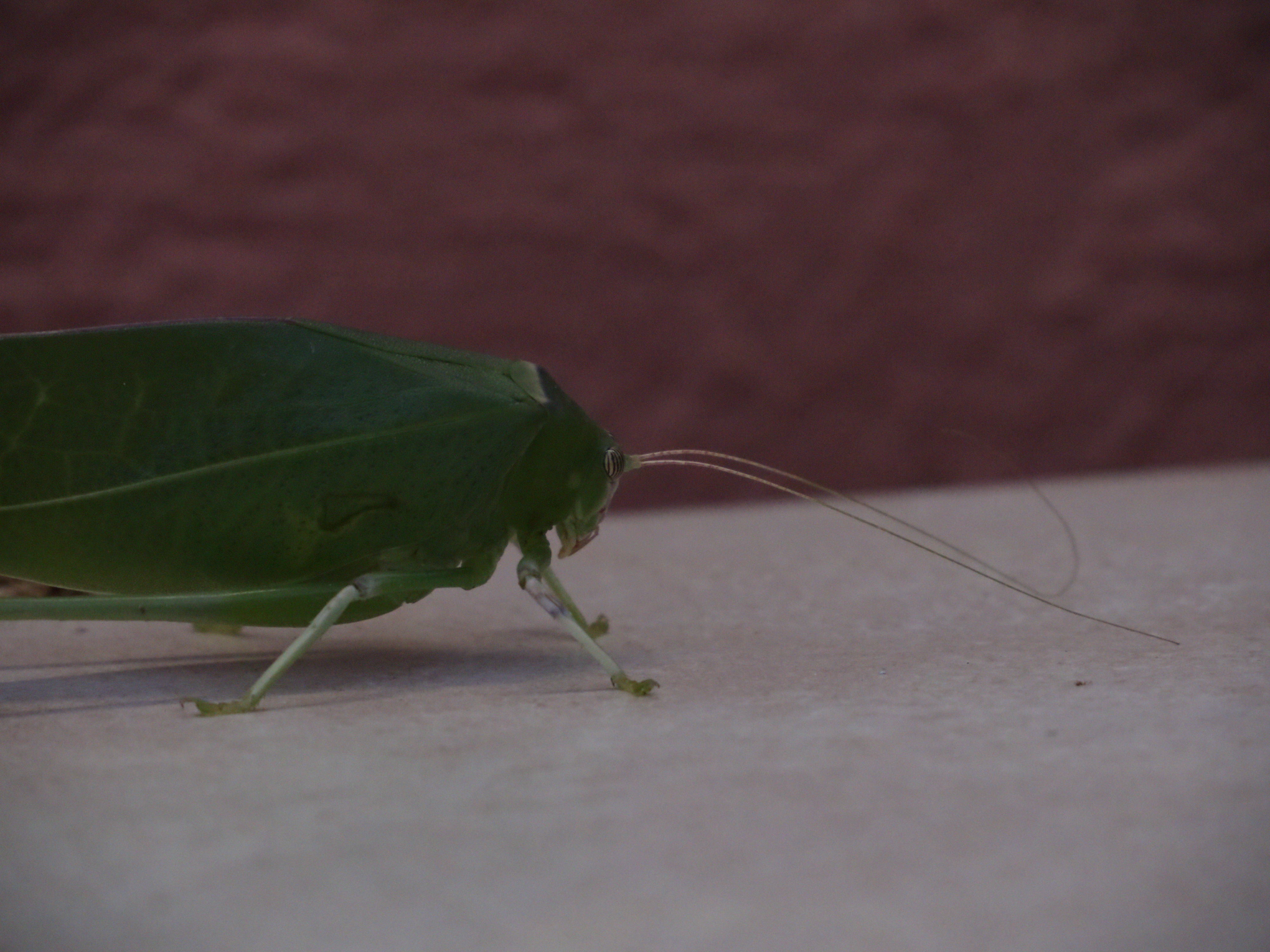 leaf like insect katydid greets us kruger park tours blog. Black Bedroom Furniture Sets. Home Design Ideas